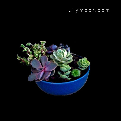 Succulents for vignette decor