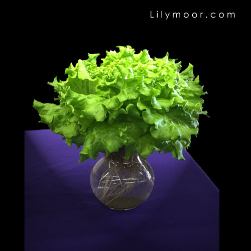 Lettuce in a vase — simply brilliant